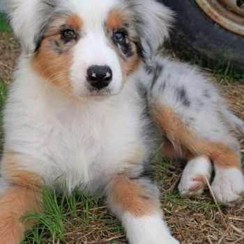 Australian Shepherd Golden Retriever Mix For Sale