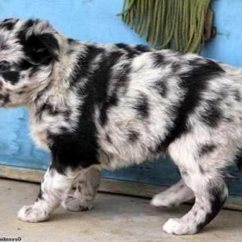 Australian Shepherd Husky Mix Puppies For Adoption