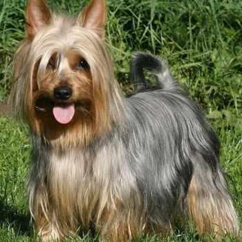 Australian Silky Terrier For Sale