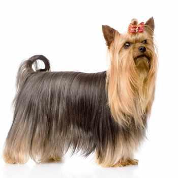 Australian Silky Terrier Vs Yorkie