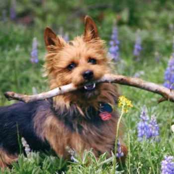 Australian Terrier Puppies For Sale Near Me