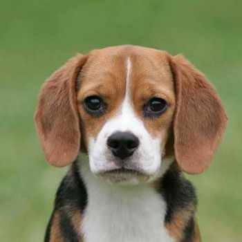 Average Beagle Size
