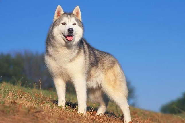 Average Price For A Husky Puppy