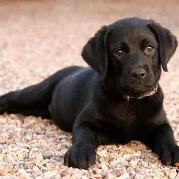 Average Price For Labrador Puppies