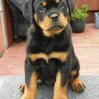 Average Price For Rottweiler Puppies