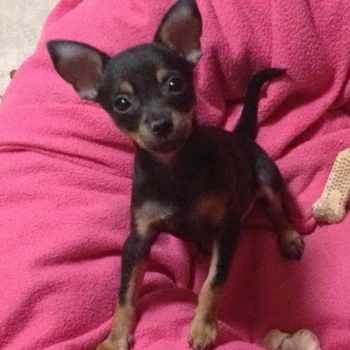 Az Chihuahua Rescue