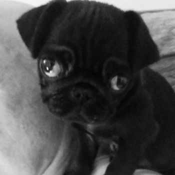 Baby Black Pug For Sale