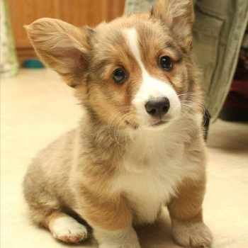 Baby Corgi Dog