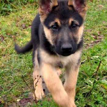 Baby German Shepherd For Adoption