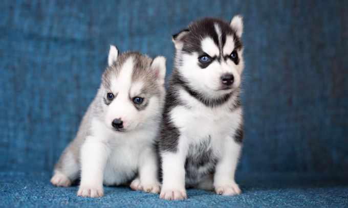Baby Husky Cost