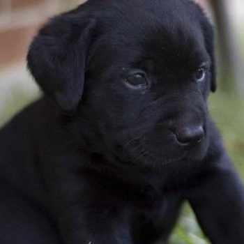 Baby Labrador Black