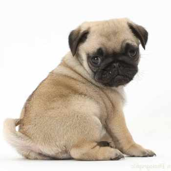 Baby Pug Dog