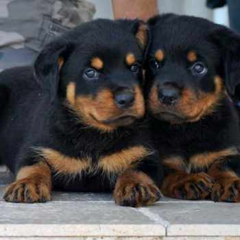 Baby Rottweiler For Adoption