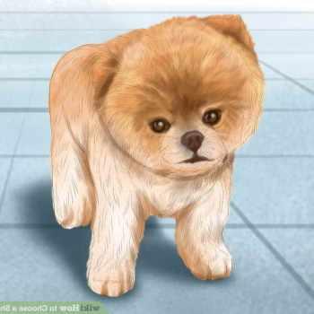 Baby Shiba Inu Puppies