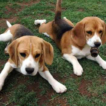 Basset Hound Beagle Mix Puppies For Sale