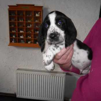Basset Hound Cocker Spaniel Mix For Sale