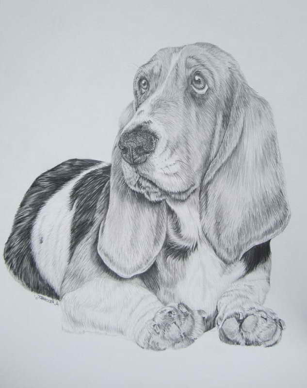 Basset Hound Drawings