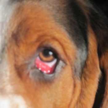 Basset Hound Eye Infection