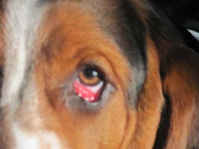 Basset Hound Eye Problems