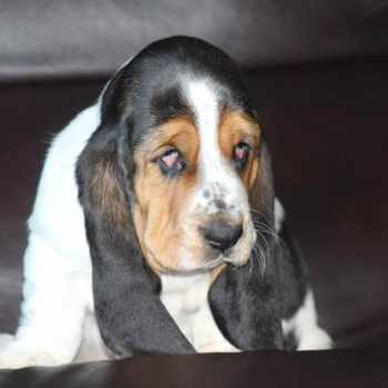 Basset Hound For Sale Alabama
