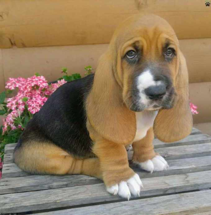 Basset Hound For Sale Colorado