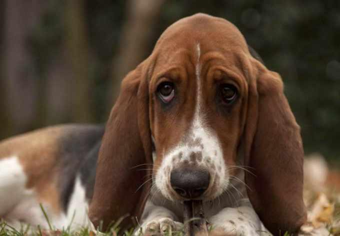Basset Hound Puppies Ct