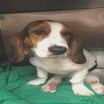 Basset Hound Puppies Dayton Ohio