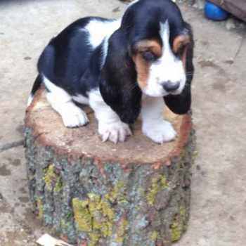 Basset Hound Puppies For Sale In Indiana