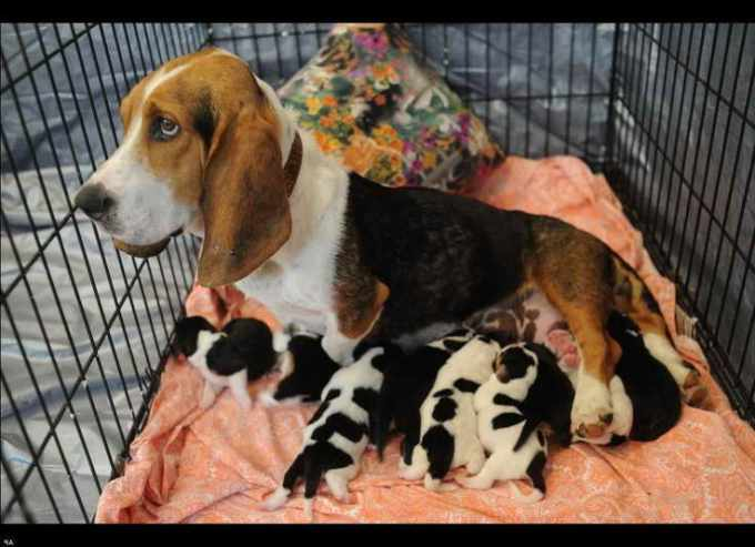 Basset Hound Puppies For Sale In Knoxville Tn
