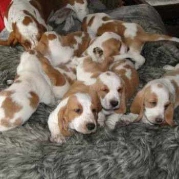 Basset Hound Puppies For Sale Washington State