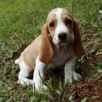 Basset Hound Puppies In Ga