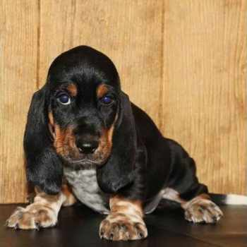 Basset Hound Puppies Knoxville Tn