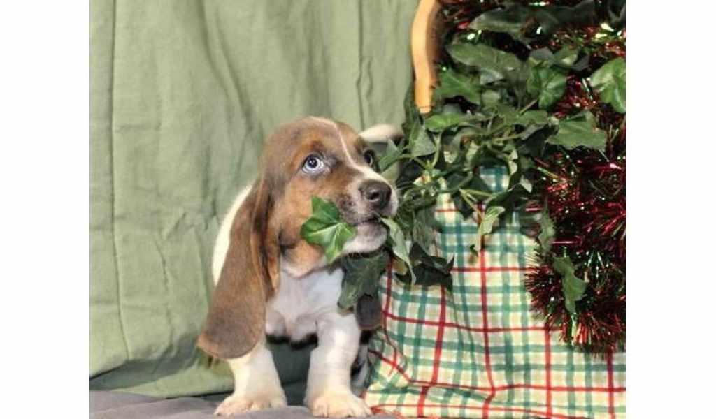 Basset Hound Puppies Las Vegas - Photos of Animals