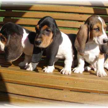 Basset Hound Puppies Michigan