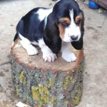 Basset Hound Puppies Nebraska