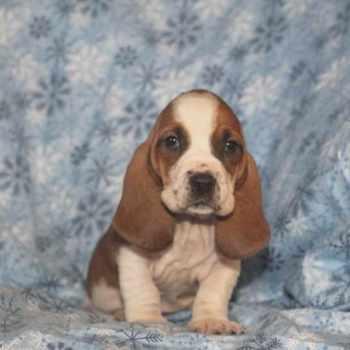 Basset Hound Puppies Pittsburgh