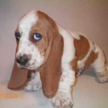 Basset Hound Puppies Sacramento