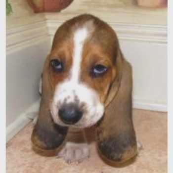 Basset Hound Puppies San Antonio Tx