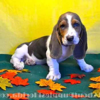 Basset Hound Puppies Tampa
