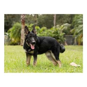 Bay Area German Shepherd