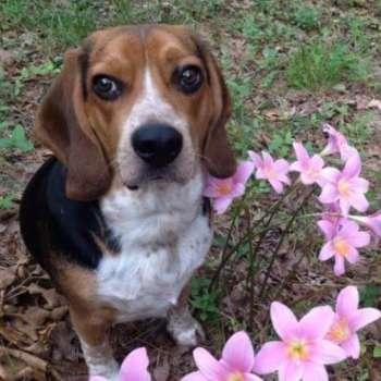 Beagle Basset Hound Mix Rescue