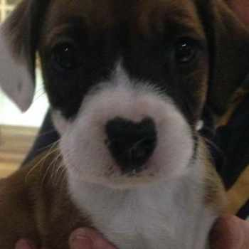 Beagle Boxer Puppies For Sale