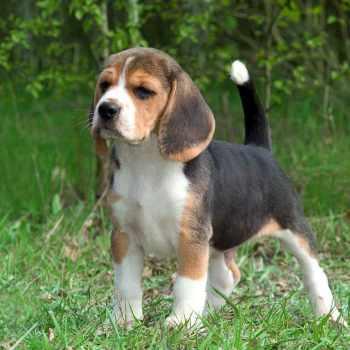 Beagle Breeders Colorado
