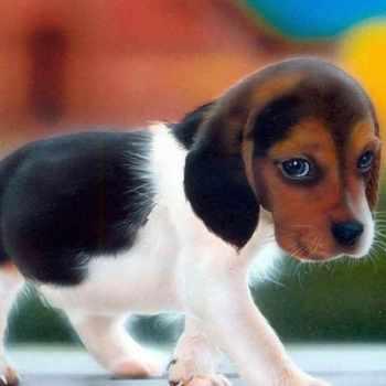Beagle Breeders Florida