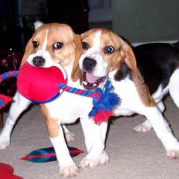 Beagle Breeders Massachusetts