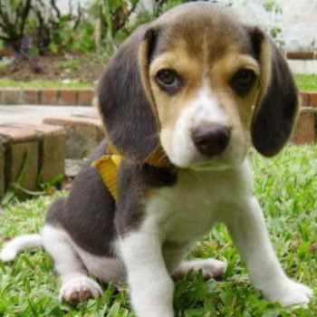 Beagle Breeders San Diego