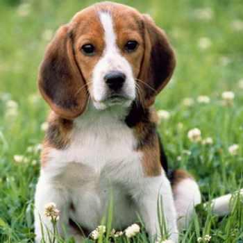 Beagle Breeders Texas
