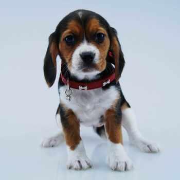 Beagle Cavalier Mix For Sale