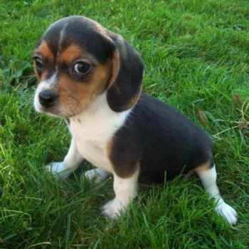 Beagle Cavalier Puppies For Sale