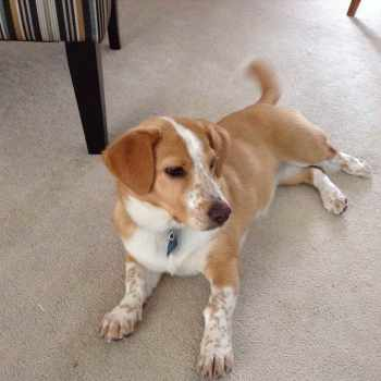 Beagle Corgi Mix Puppies For Sale